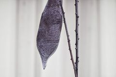 A shaggy brown bean pod hanging on a branch against a fence. A shaggy dry brown bean pod hanging on a branch against a fence royalty free stock photos