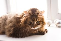 Shaggy brown cat. Big shaggy brown cat lies on the white windowsill and looks down royalty free stock photos