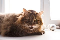 Shaggy brown cat. Big shaggy brown cat lying on a white window sill with open mouth stock photography