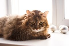 Shaggy brown cat. Big shaggy brown cat sits on a white window sill and looks into the camera stock images