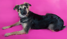 Shaggy brown dog is lying on pink Royalty Free Stock Photo