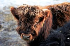 Shaggy Brown Highlander Calf fotografia stock
