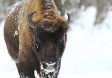 Shaggy Buffalo pulling his funny face Stock Photos