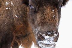 Shaggy Buffalo som drar hans roliga framsida Arkivfoton
