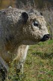 Shaggy Bull Stock Image