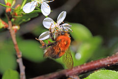 Shaggy bumblebee Stock Photography