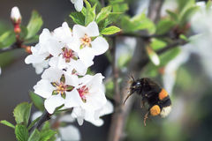 Shaggy bumblebee circling and flying over a blossoming Apple tree Stock Image