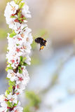 Shaggy bumblebee circling and flying over a blossoming Apple tree Stock Photo