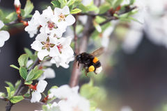 Shaggy bumblebee circling and flying over a blossoming Apple tree Royalty Free Stock Photo