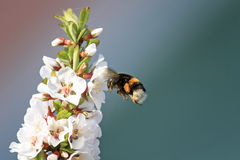Shaggy bumblebee circling and flying over a blossoming Apple tree Royalty Free Stock Image