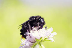 Shaggy bumblebee collecting nectar from pink flower in the meadow Royalty Free Stock Photo