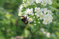Shaggy bumblebee collects honey from the flowers of the Apple tr Stock Photos