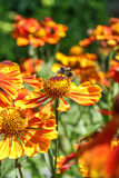 Shaggy bumblebee on a flower Gaillardia close up Royalty Free Stock Images