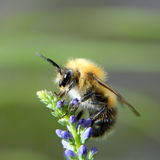 Shaggy bumblebee on a flower Stock Images