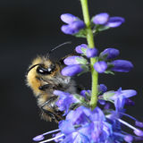 Shaggy bumblebee on a flower Stock Photography