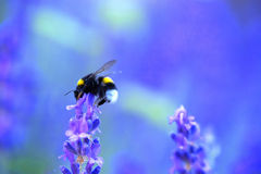 Shaggy bumblebee gathers nectar from a lavender flower, Stock Image