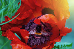 Shaggy bumblebee inside the flower of a poppy plant. Shaggy bumblebee collecting nectar inside the flower of a poppy plant stock photo