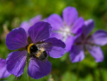 Shaggy bumblebee on a mountain flower Stock Photo