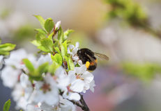 Shaggy bumblebee pollinating a blossoming branch of a cherry spr Royalty Free Stock Images