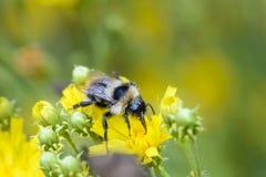 Shaggy Bumblebee raccoglie il nettare Immagini Stock Libere da Diritti