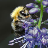 Shaggy bumblebee sitting on a blue flower Stock Images
