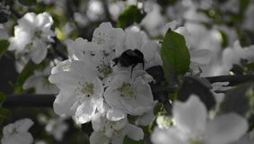Shaggy bumblebee on the flower of the Apple tree royalty free stock photos