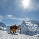 Shaggy and calm animal, similar to a yak, is tethered against the background of the beautiful white mountains of the Caucasus.  royalty free stock image