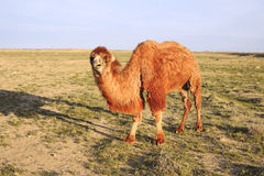 Shaggy camel. Royalty Free Stock Images