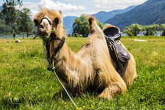 Shaggy camel Royalty Free Stock Photography
