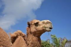 Shaggy Camel Chewing op een Bos van Hooi stock afbeeldingen