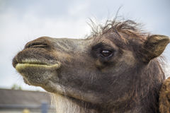 Shaggy camel Royalty Free Stock Image