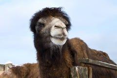 Shaggy camel Stock Image
