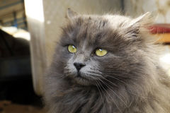 Shaggy cat Stock Photography