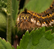 Shaggy caterpillar Stock Photos