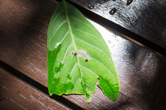 Shaggy caterpillar bend on green leaf. Hairy caterpillar on a leaf Royalty Free Stock Photography