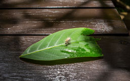 Shaggy caterpillar bend on green leaf. Hairy caterpillar on a leaf Royalty Free Stock Photos