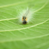 Shaggy caterpillar en face Stock Photography