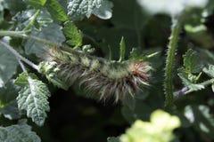 Shaggy caterpillar Royalty Free Stock Photo