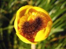 Shaggy Caterpillar op een Geel spat-Dok Stock Fotografie