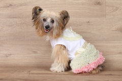 Shaggy Chinese crested dog Royalty Free Stock Photo