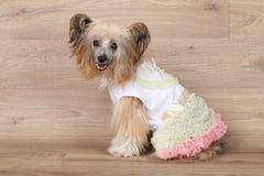 Shaggy Chinese crested il cane Fotografia Stock Libera da Diritti