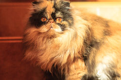 Shaggy colorful Persian cat. With surprised eyes Stock Image