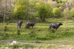 Shaggy cows in Abkhazia Royalty Free Stock Images