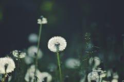 Shaggy dandelion royalty free stock image