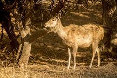 Shaggy deer in the sunset Royalty Free Stock Photo