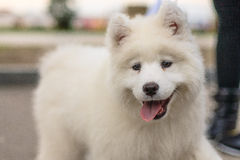 Shaggy dog ​. White big shaggy dog ​​with his tongue hanging out Royalty Free Stock Photo