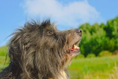 Shaggy dog Royalty Free Stock Photo
