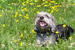 Shaggy Dog. Lying in a field of grass and flowers Royalty Free Stock Photography