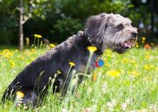 Shaggy Dog. A Shaggy Dog sitting field of yellow flowers Stock Photo