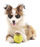 Shaggy dog with ball. Royalty Free Stock Images